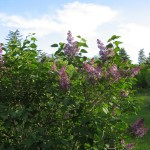 "My lilac bush - it just speaks ""healthy living tips"" to me! :)"
