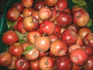 Apples from One of Our Trees - The Diet Solution - Isabel De Los Rios